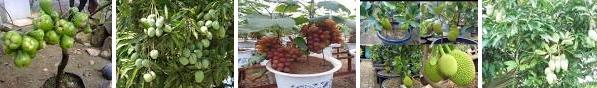 Cara merawat buah buahan
