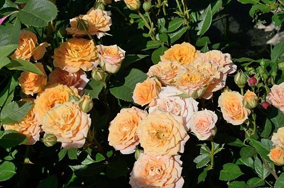 Clementine сорт розы фото купить саженцы Минск питомник
