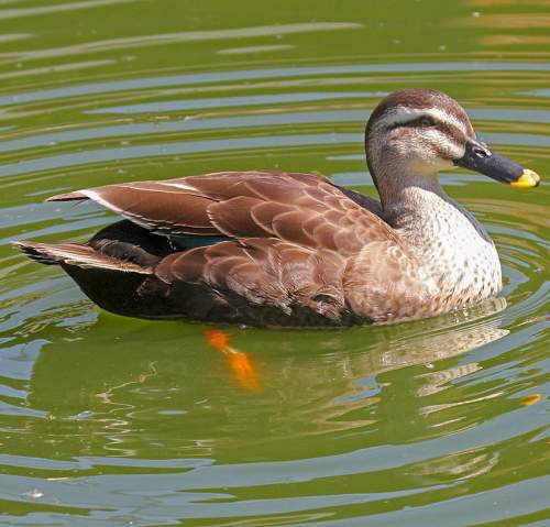 Chinese spot-billed duck - Anas zonorhyncha