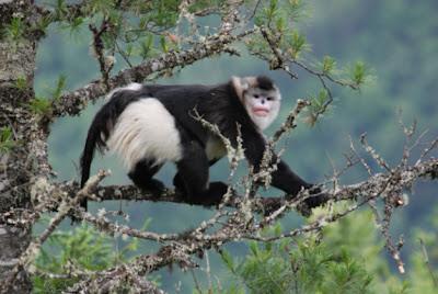 Black snub nosed monkey