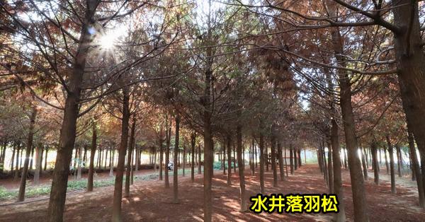《台中.新社》2018水井落羽松|新社落羽松秘境|森林中隱藏著白色小木屋