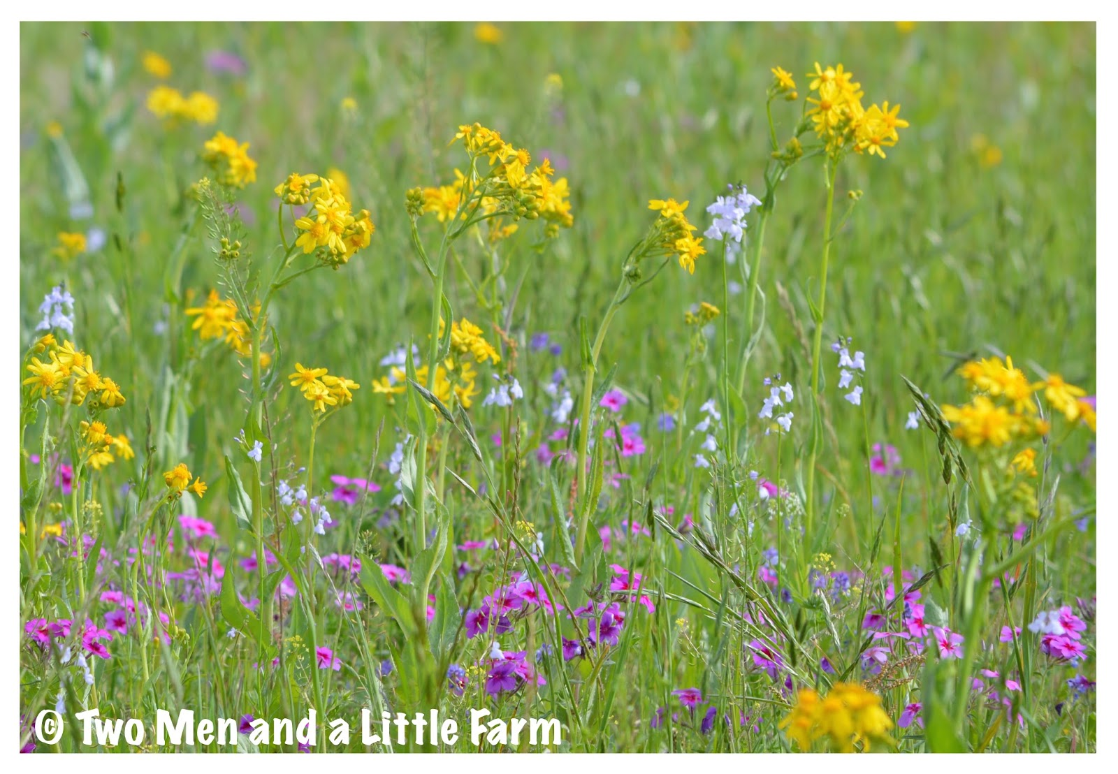 Two Men And A Little Farm Wildflower Wednesday