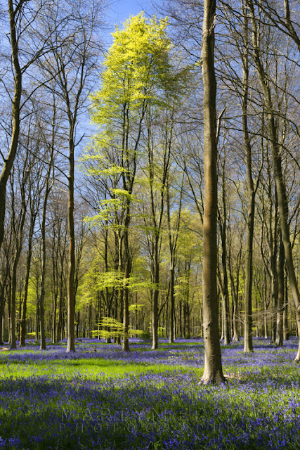 Bluebells at West Woods in Marlborough by Martyn Ferry Photography