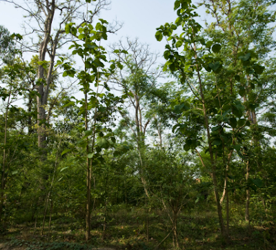 Tree Species Found in Terai Region of Nepal -- Terai Forest