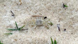 Krebs - Bald Point State Park - Alligator Point, Florida
