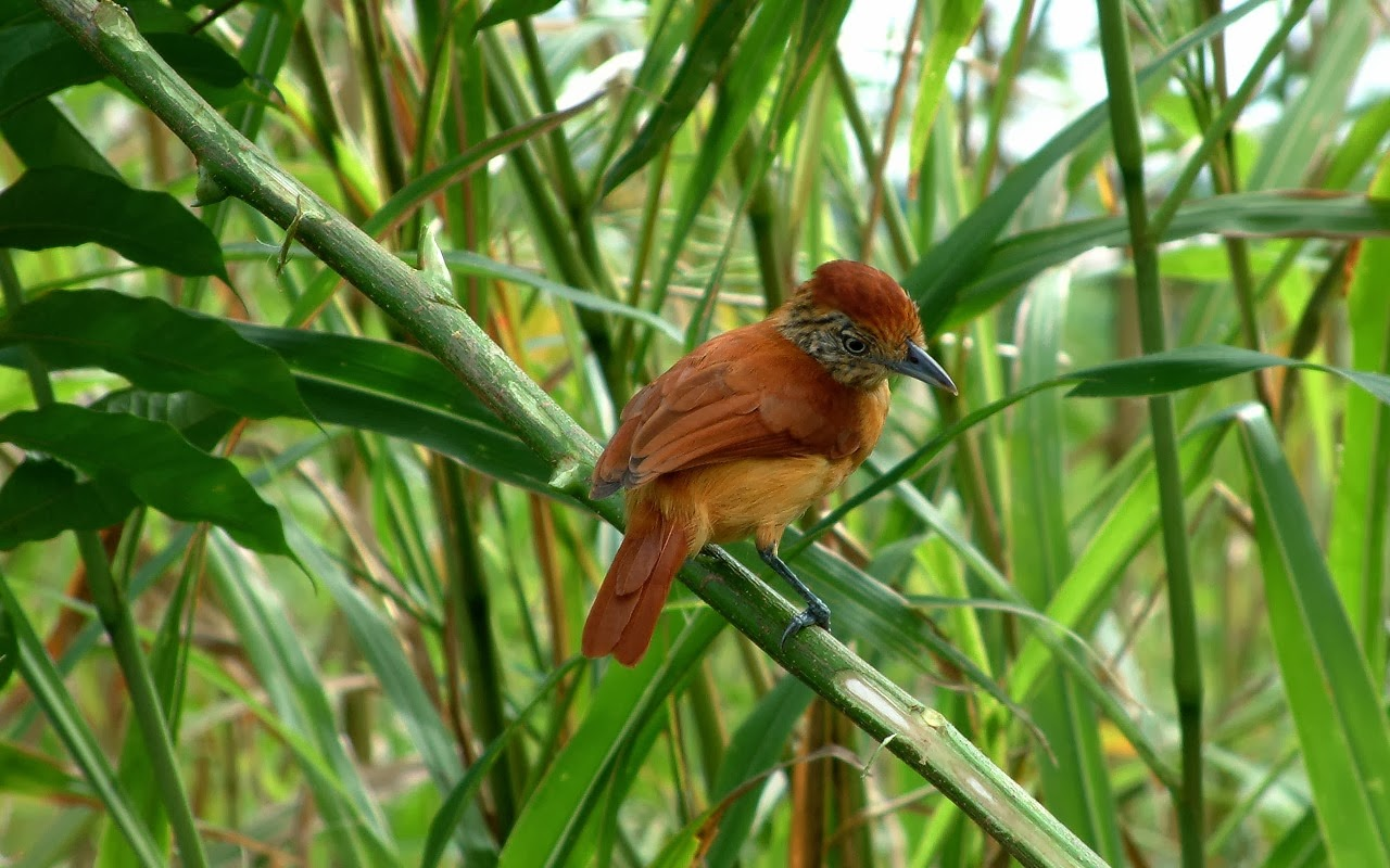 Barred-Antshrike (Thamnophilus doliatus) A perched female