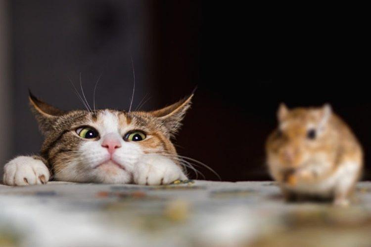 Bütün kediler avlanırken gözlerini kısarlar ve sadece avına odaklanırlar.
