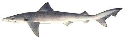 tiburon aceitoso Galeorhinus galeus