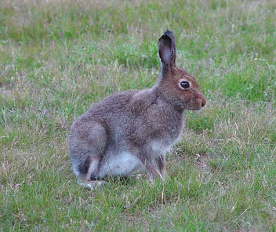 Amazing facts Hares,rabbit, pika