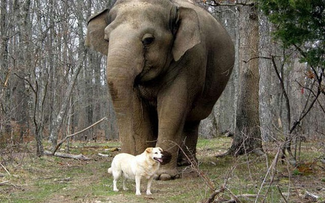 impel pregnancy between Elephant & Dog at the same time