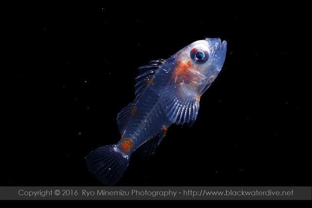 フサカサゴ科の稚魚
