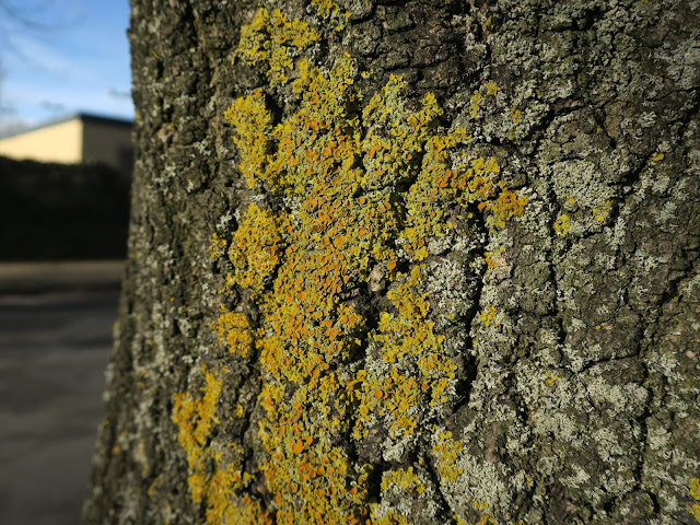 Common Orange Lichen and other lichens on urban tree