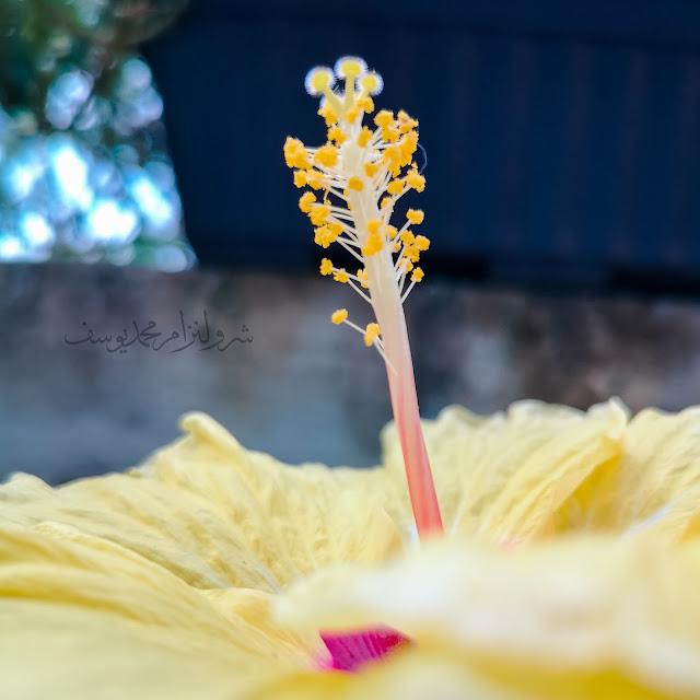 Hawaiian Hibiscus, Bunga Raya Kuning 2