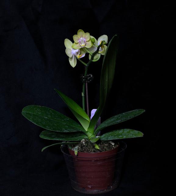 Maria S Orchids New Orchid Phal Gold Tris Desk Pot