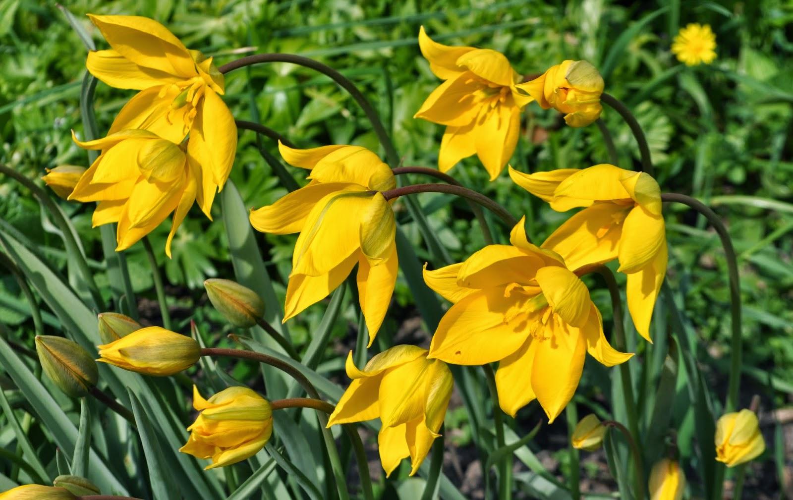 tulipa sylvestris blütezeit