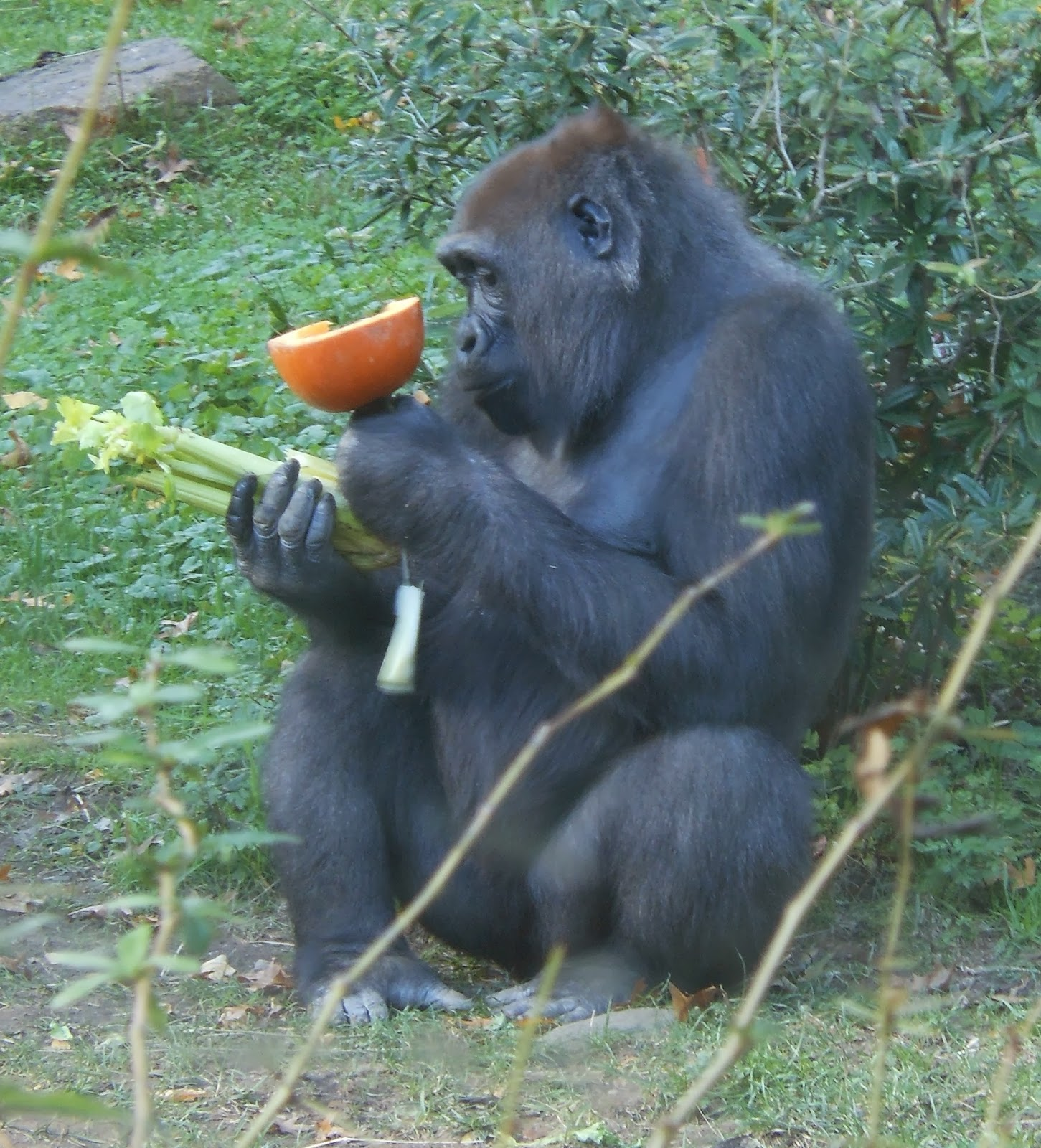 What Do Gorillas Eat – Gorilla Diet