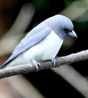Artamus leucoryn