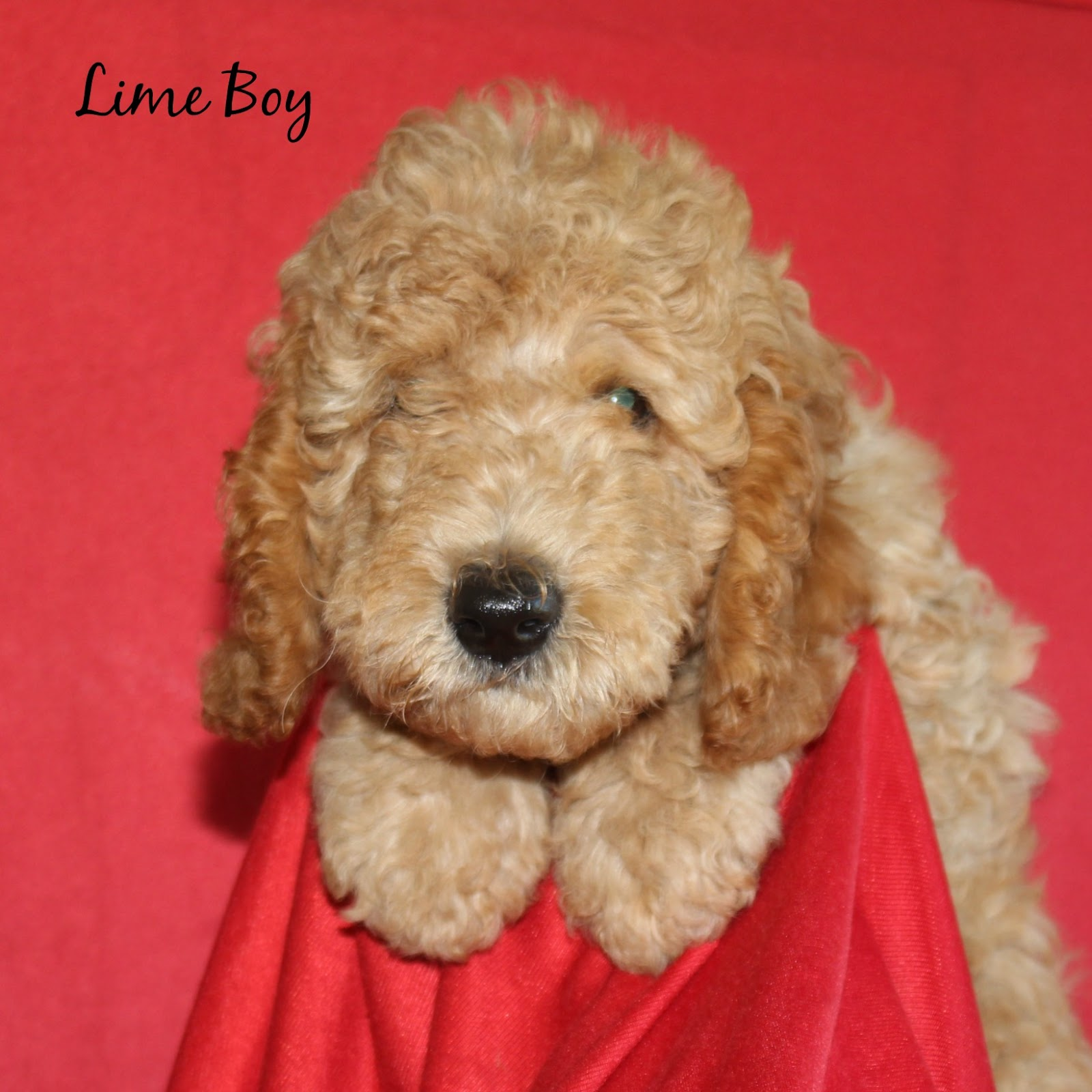 Canadian Doodle Puppies