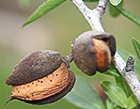 Almonds growing in an orchard (Credit: Wikimedia Commons)
