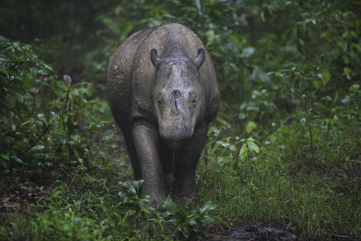 Badak Sumatera | leuser-conservation.blogspot.com