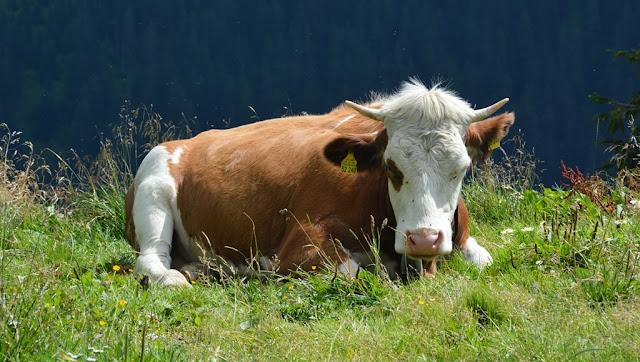 Waldbergbahn Tegernsee cow