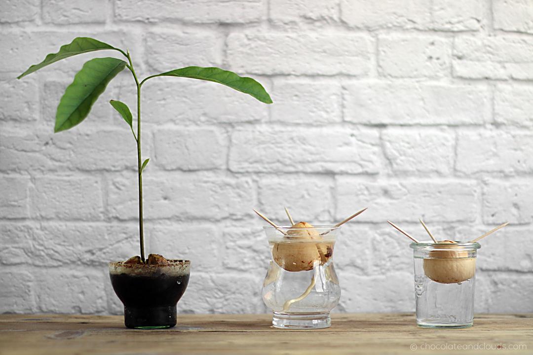 Avocado Baum ziehen aus Avocado Kern step-by-step how-to