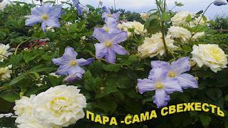 клематис розы фото