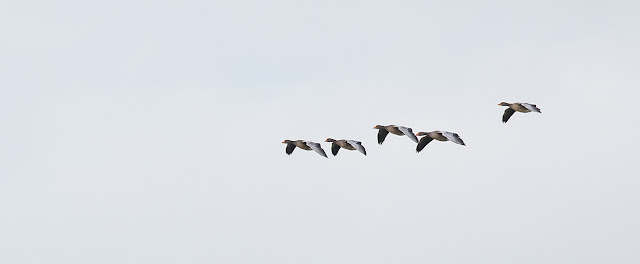 Greylag Geese in FlightGreylag Geese in Flight