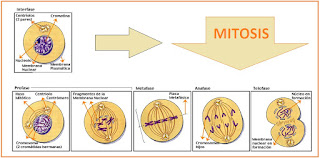 gambar pembelahan mitosis beserta penjelasannya