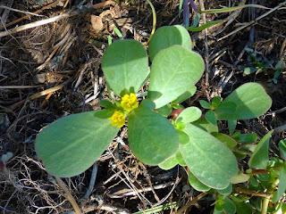 Portulaca oleracea - Pourpier maraîcher