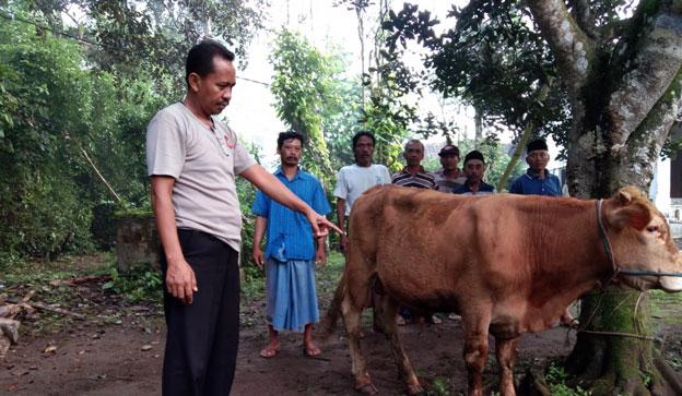 Petugas Polsek Kunir saat menunjukkan sapi yang ditemukannya