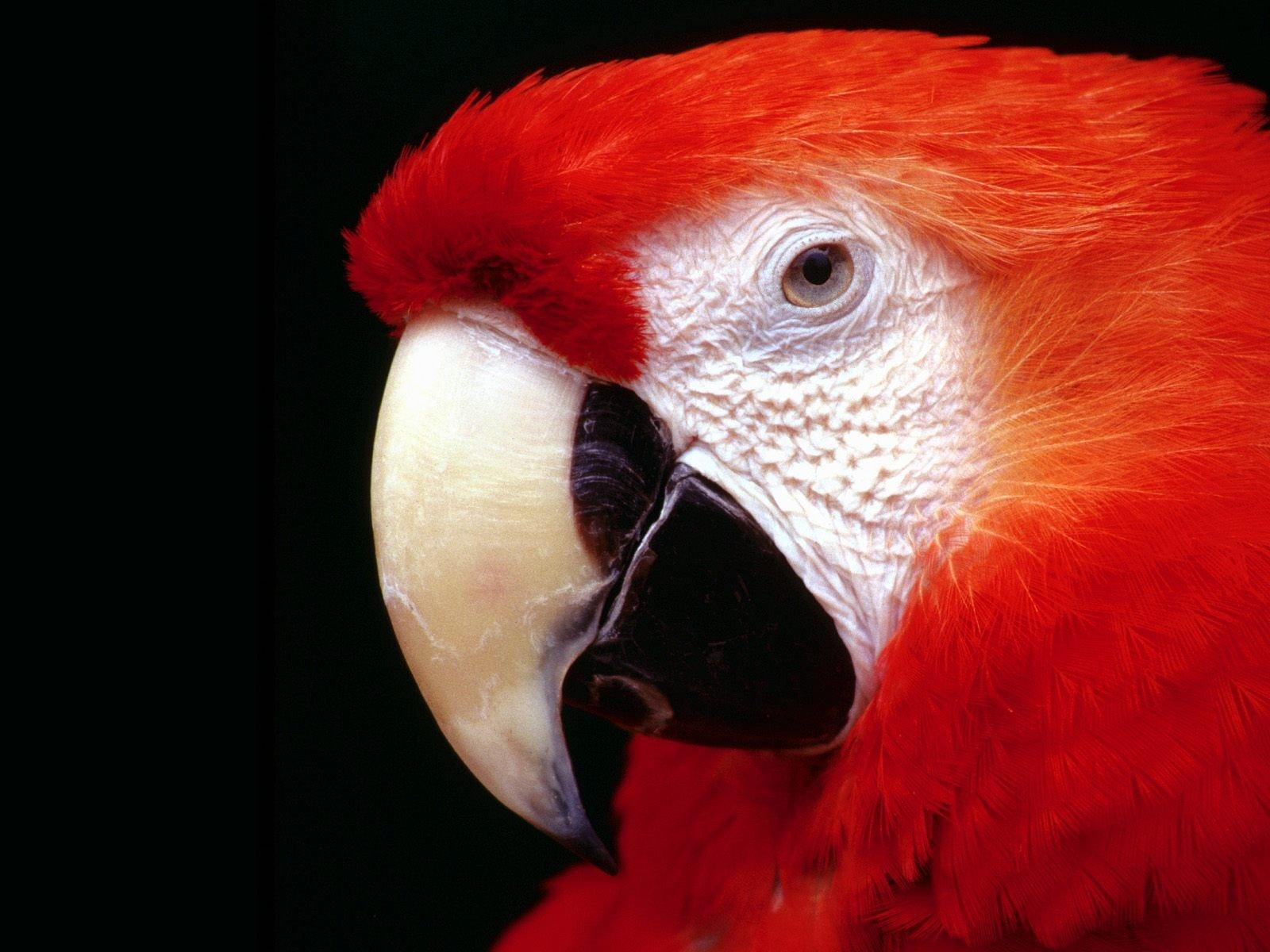 scarlet macaw birds high - photo #26