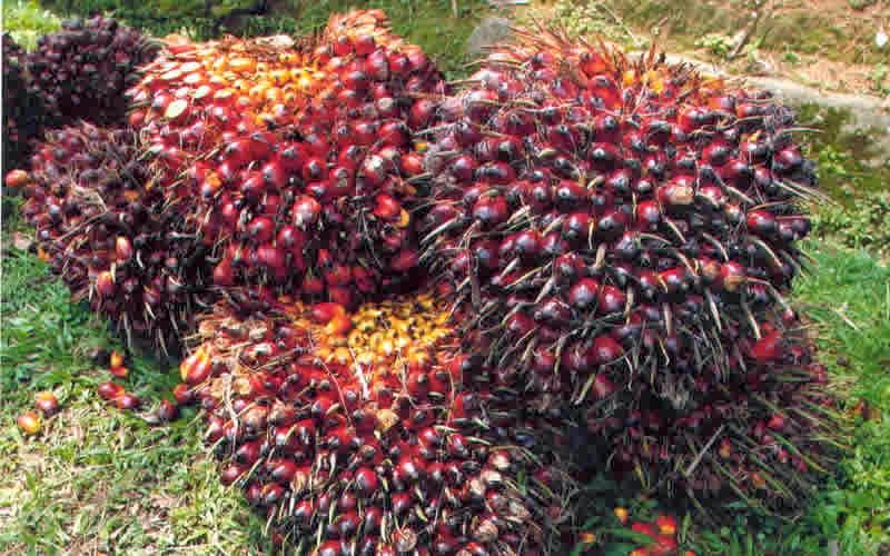 Agrobisnis Pupuk Sawit Anik Kualitas Terbaik Dunia Pupuk Nasa