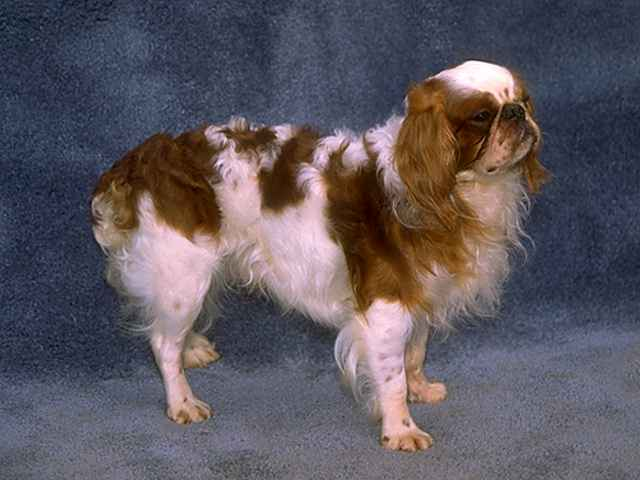 English Toy Spaniel History Breed And Health Food