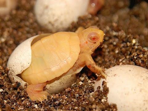 Kura-kura Brazil Albino