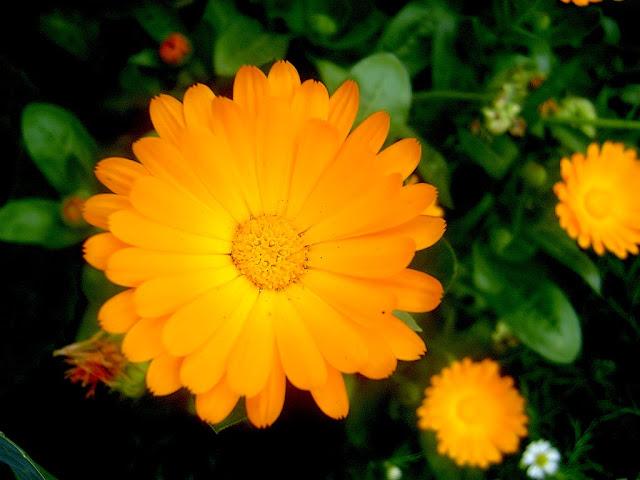 cach trong hoa cuc su si