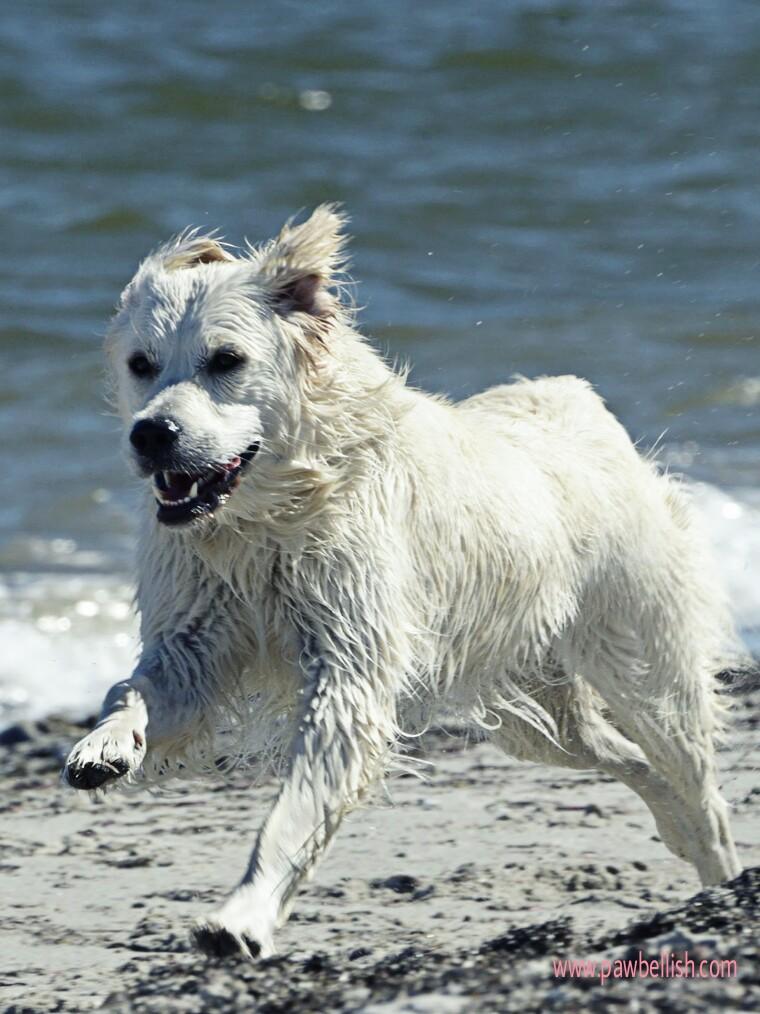 White dog running on the beach