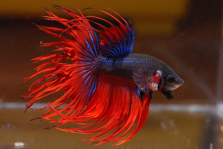 66+ Gambar Ikan Cupang Ekor Jarum Gratis Terbaru