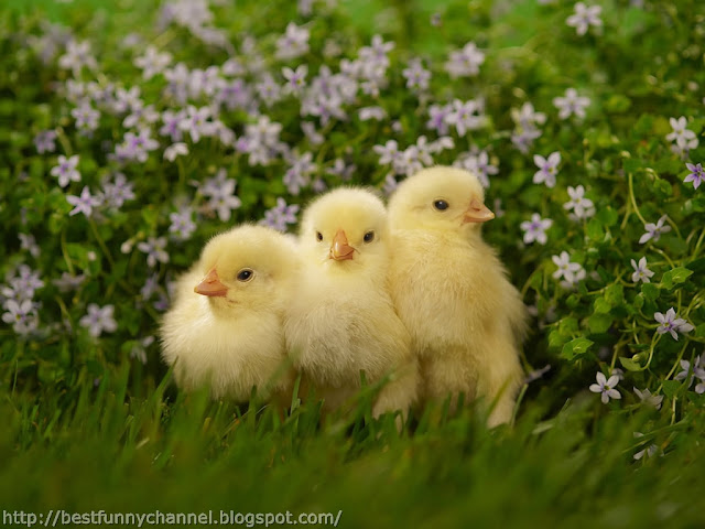 Cute chickens 2.
