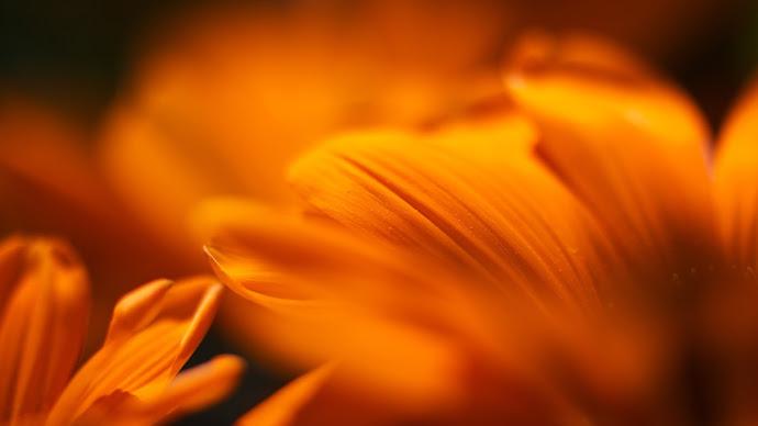 Wallpaper: Macro Petals Mandarine