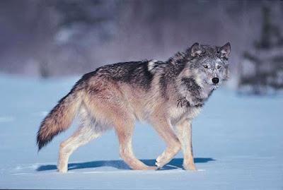 Serigala Abu-abu