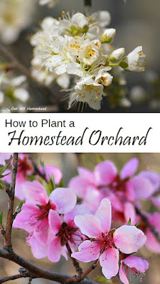 How to select, locate and plant fruit trees on your homestead   from Oak Hill Homestead