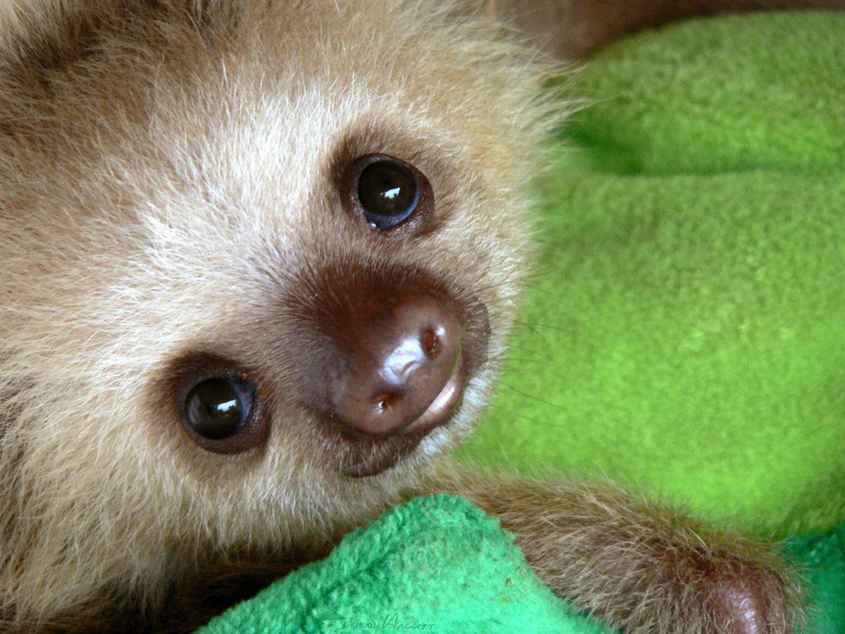 Sloth Wallpaper Cute Funny Animals Of The Week 3 May 2013 30 Pics Amazing
