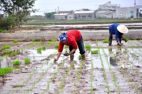 Ngày vui cấy lúa đầu xuân trên quê hương Hải Hậu