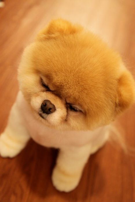 pomeranian boo dogs my funny beautiful pomeranian puppy named boo pictures 8102
