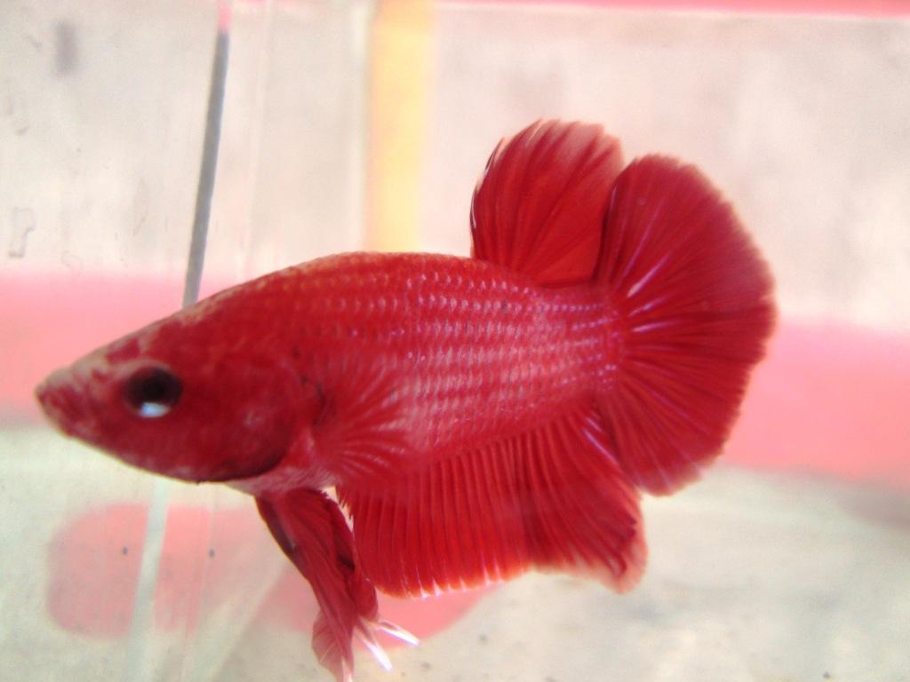 Ikan Cupang Jayen