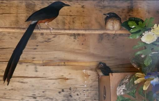Berikut ini akan mengupas cara ternak murai batu poligami mulai dari pembuatan kandang Rajajangkrik-Perlu Anda Tahu 2020, Cara Sukses Ternak Burung Murai Batu Untuk Pemula