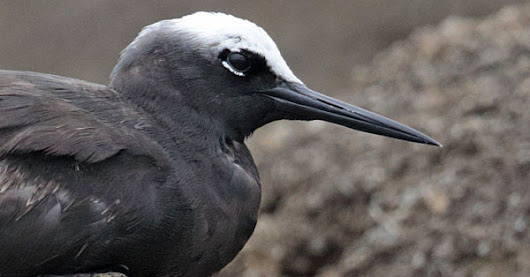 A welcome stranger - HK's First Black Noddy