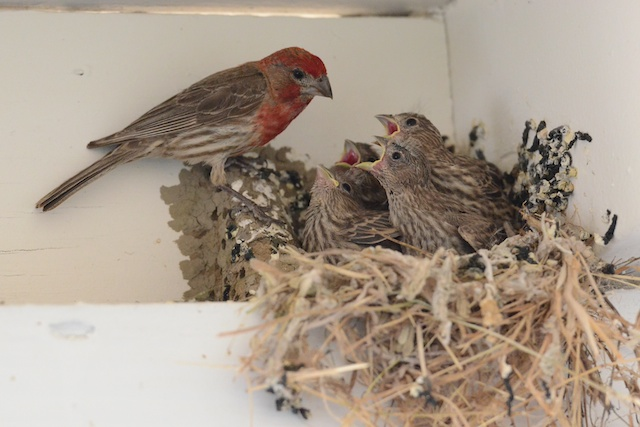 Dipper Ranch: First Flight of the Humble House Finch
