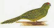 Perico terrestre: Pezoporus wallicus